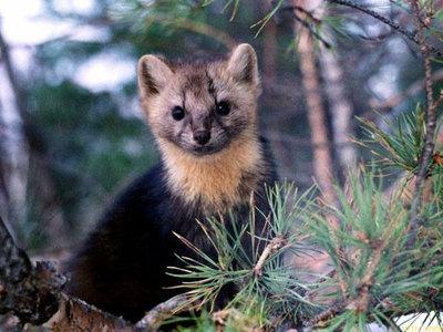 Баргузин животное это