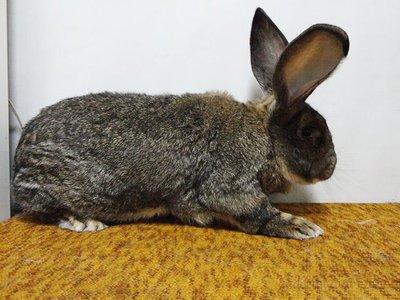 Кролики Немецкий Ризен: содержание, разведение кроликов Ризен