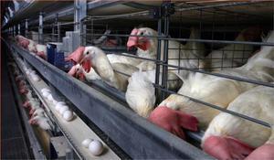 Правильный уход за цыплятами