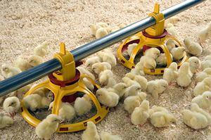 Как кормить цыплят