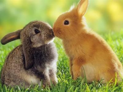 Чем отличается кролик от зайца: внешне, средой обитания