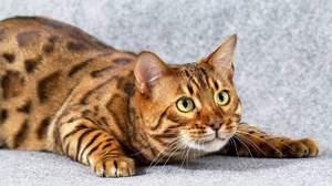 Бенгальский кот. Кот леопард. Сколько стоит бенгальский котенок ... | 168x300