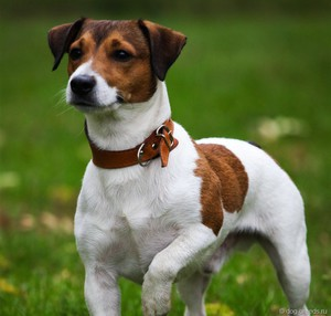 Описание собак джек рассел