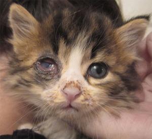 Гноятся глазки у котенка чем лечить в домашних условиях 180