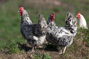 Пушкинская полосато-пёстрая порода кур