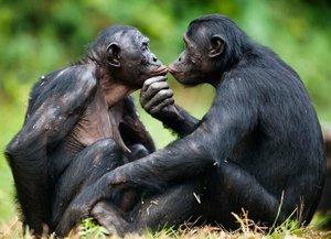 бонобо обезьяна фото