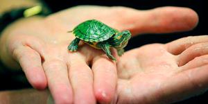 Как правильно ухаживать за черепахой в домашних условиях?