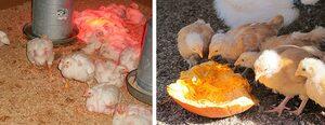 Выращивание и содержание бройлерных цыплят: уход, кормление, как выращивать