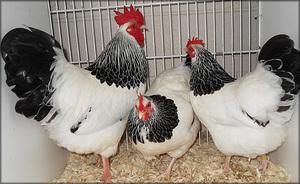 Цыплята кур суссекс