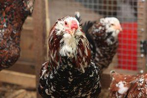 Орловская порода кур: особенности и описание