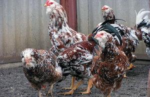 Выращивание домашних птиц орловской ситцевой породы