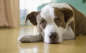 Энцефалит у собак - что делать