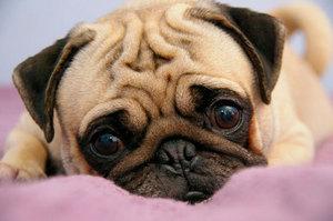 Собаки могут заразиться энцефалитом