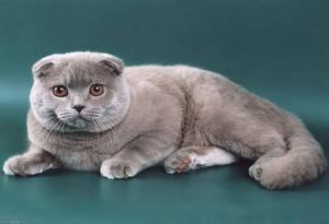 особенности породы шотландских вислоухих кошек