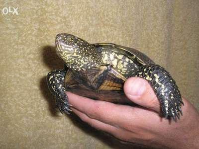 Европейская болотная черепаха: содержание и уход в домашних условиях