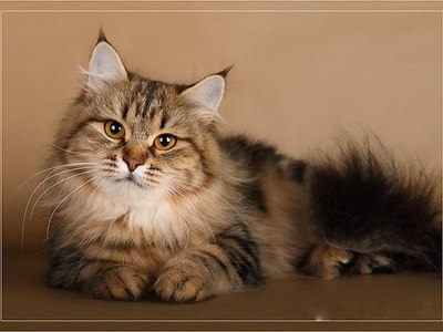 Сибирская кошка описание породы фото