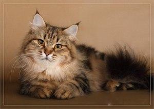 Русская сибирская кошка - описание