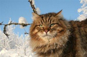 Русская сибирская кошка зимой