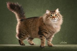 Русская сибирская кошка - строение тела