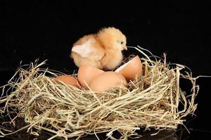 Сколько дней курица высиживает яйца