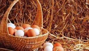 Период яйцекладки у кур
