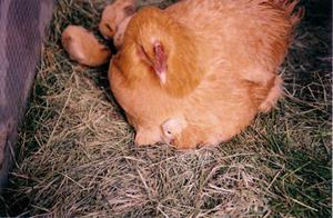 Сколько времени курица высиживает яйца