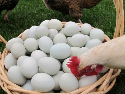 Почему и что делать если куры едят свои яйца