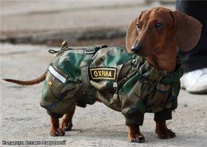 Такса-охранник