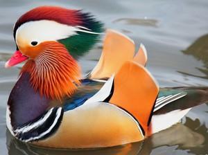 птичка мандаринка фото