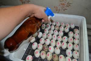 Как инкубируются яйца