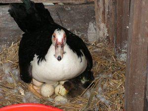 Индоутка на яйцах