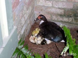 Как долго индоутка сидит на яйцах