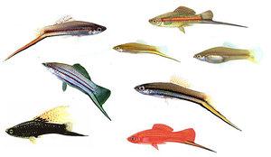 Виды аквариумных меченосцев