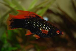 Чёрный аквариумный меченосец