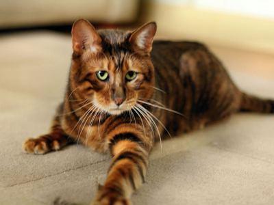 Тойгер кошки и коты