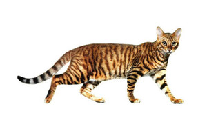 Описание кошки тойгер