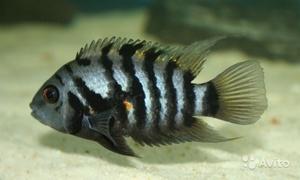 Виды аквариумных рыбок цихлид