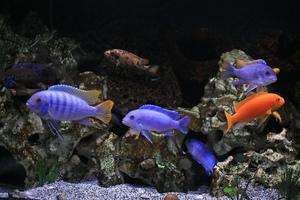 Питание аквариумных цихлид