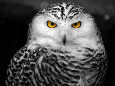 Полярная сова и ее характеристики: где обитает белая сова, ее питание и размножение