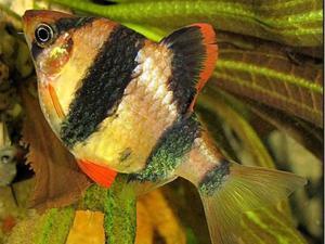 Барбусы аквариумные рыбки
