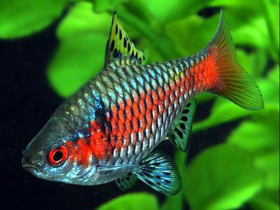 Рыбки барбусы виды совместимость содержание