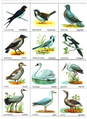 птицы россии. фото
