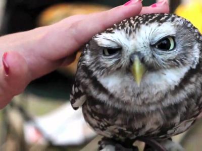 Содержание ушастой совы в домашних условиях непреложные правила