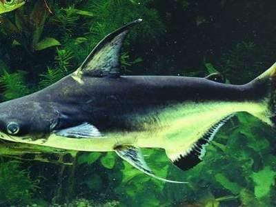 Акулий сом высокоплавничный