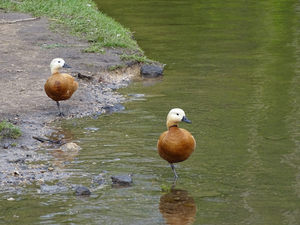 Огарь или красная утка: особенности вида, размножение и разведения в неволе