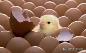 Выращивание цыплят в домашних условиях для начинающих