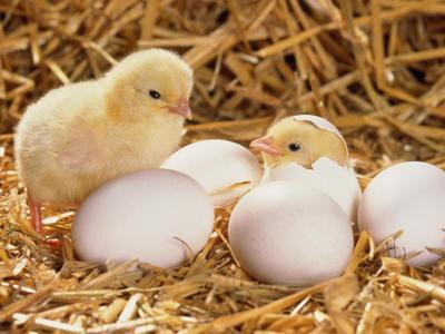 Вывод цыплят в домашних условиях домашний инкубатор