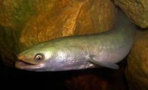 Как выглядит рыба угорь