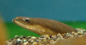 Характеристика рыбы угорь