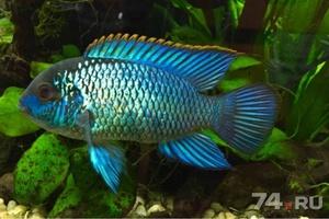 Опиасние рыбки наннакар